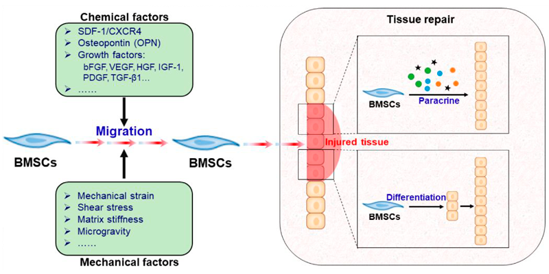 Mesenchymal stem cells (here – bone marrow-derived) can migrate to the injured tissue, stimulated by various mechanical and chemical factors. At the site of damaged tissue, MSCs perform wound healing through two key roles: the paracrine mechanism (mostly) and/or direct differentiation.