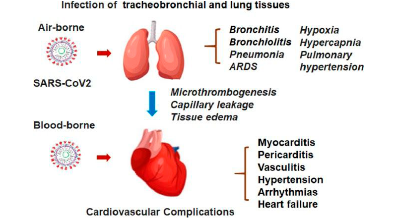 The effects of viral exposure on the lungs and cardiovascular system [3].