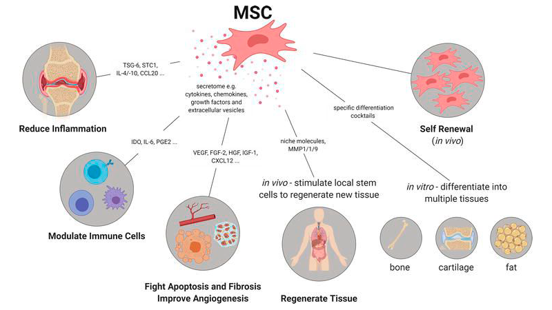 Properties of MSCs and the mechanism of their therapeutic activity.