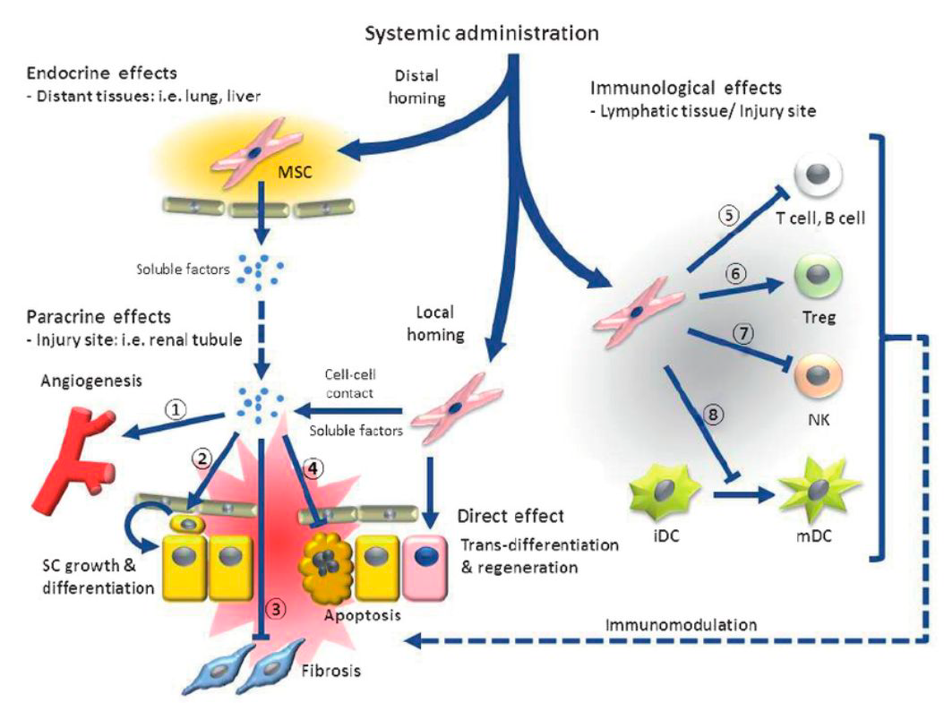 Effects of system administration of stem cells.